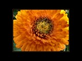 Marigold Glow by LynEve, Photography->Flowers gallery
