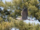 Heron In Flight by rahto, Photography->Birds gallery