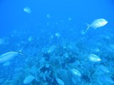 School of Blue Runners by Joby, photography->underwater gallery