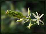 Indian Lily by wimida, Photography->Flowers gallery