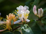 Honeysuckle Bush by Pistos, photography->flowers gallery