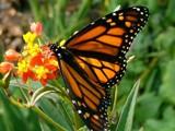 Sunlit Monarch by Zava, photography->butterflies gallery