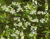 Forest Dogwood by sharonva, photography->landscape gallery