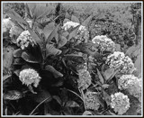 Wild Mountain Hydrangea - Kauai by trixxie17, contests->b/w challenge gallery