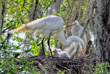 The Egret Family by 100k_xle, photography->birds gallery