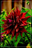 Dahlia Show 39 by corngrowth, photography->flowers gallery
