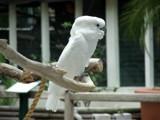 Cockatooooooooooo by cuddlebuddy48, Photography->Birds gallery