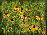 Air Station Prairie - Wild Rudbeckia by trixxie17, photography->flowers gallery