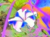 Psychadelic Petunia by lilkittees, Photography->Manipulation gallery