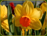 Sunny Daffies by trixxie17, photography->flowers gallery