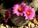 Windowsill Cactus by DesertDenizen, Photography->Flowers gallery