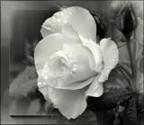 Sunshine & Rain by LynEve, photography->flowers gallery