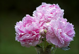 Three Peonies and Bud by cynlee, photography->flowers gallery