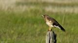 Hawk by doughlas, photography->birds gallery