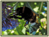 A Great Bumblebee by wimida, Photography->Insects/Spiders gallery