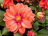 Coral Dahlia by trixxie17, photography->flowers gallery