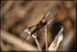 Widow Skimmer 2 by Jimbobedsel, photography->insects/spiders gallery