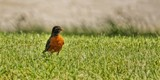 Rompin' Robin by Jimbobedsel, photography->birds gallery