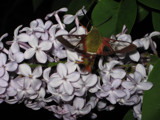 Hummingbird Moth by June, Photography->Flowers gallery