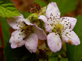 Blackberry flowers by annie100, Photography->Flowers gallery