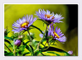 Asters by gerryp, Photography->Flowers gallery