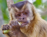 Young Capuchin Monkey by jeenie11, photography->animals gallery