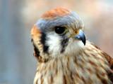 Falco sparverius by Hottrockin, Photography->Birds gallery