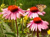 Joie de vivre by Quiet, Photography->Butterflies gallery