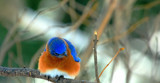 The Eastern Bluebird #3 by tigger3, photography->birds gallery