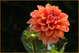 Orange Dahlia by Ramad, photography->flowers gallery