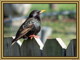 Sturnus vulgaris by Hottrockin, Photography->Birds gallery