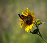 A Painted Lady and the Sunflower by Pistos, photography->butterflies gallery