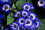 Cineraria by trixxie17, photography->flowers gallery