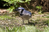 mrs. jay by mike100, Photography->Birds gallery