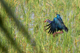 Waterhen landing by jeenie11, photography->birds gallery