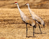 Sandhill Cranes #2 by tigger3, photography->birds gallery