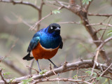 superb starling by jeenie11, Photography->Birds gallery