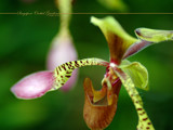 Singapore Orchid Gardens 7 by Samatar, Photography->Flowers gallery