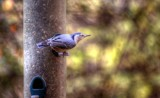 White Breasted Nuthatch by Jimbobedsel, photography->birds gallery