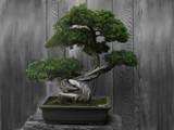 Bonsai by bikolnon, Photography->Manipulation gallery
