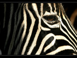 Stripes by JQ, Photography->Animals gallery