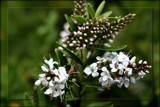 Tiny white blossoms by LynEve, photography->flowers gallery