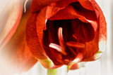 Grand Opening by luckyshot, photography->flowers gallery