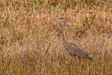 Heron, Take 2 by Jimbobedsel, photography->birds gallery