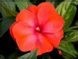 Mango Orange by trixxie17, photography->flowers gallery