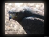 Talons III by Hottrockin, Photography->Birds gallery
