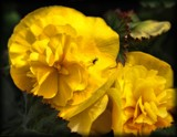 Bold Gold Begonia by LynEve, photography->flowers gallery