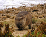 Beach Wombat I by meteor, Photography->Animals gallery