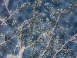 Wild Plums in Spring by rustectrum03, photography->manipulation gallery