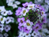Tiny Purple Flowers by mcwick, photography->flowers gallery
